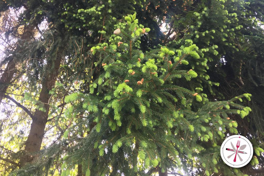 Essbare Wildpflanzen in Deutschland. Linde und Fichte.