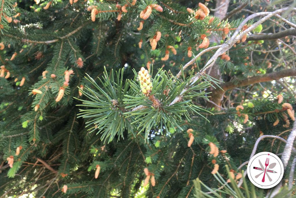 Essbare Wildpflanzen in Deutschland. Kiefer