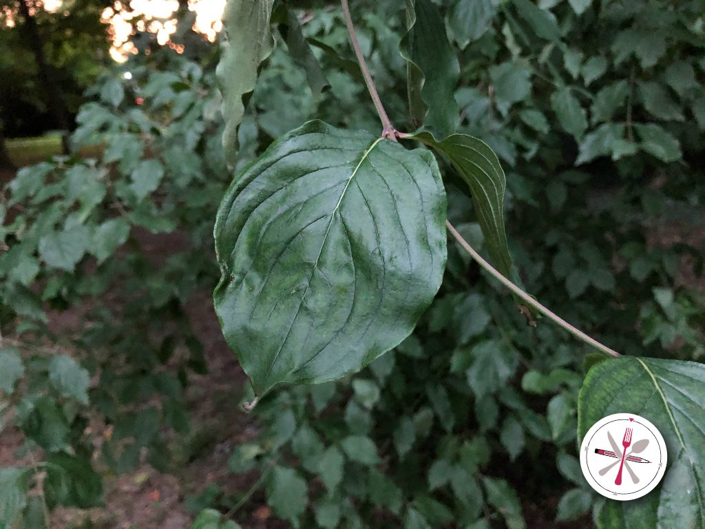 Die markanten Blätter der Kornellkirsche sind leicht zu erkennen.